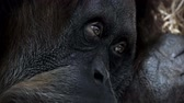 attentive and sad eyes of the monkey orangutan. filmed close-up Vídeos