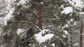 heavy snowfall is on the background of the winter forest
