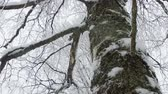 nyírfa : birch tree branches in snow camera rotation Stock mozgókép