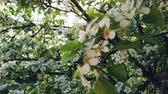 szilva : flowering pear tree in spring with beautiful flowers Stock mozgókép