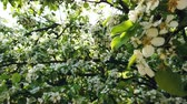 pereira : flowering pear tree in spring with beautiful flowers Vídeos