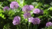 選択する : Beautiful green summer sunny day. Decorative Allium with purple spherical umbrellas. Selective focus.