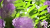 Beautiful green summer sunny day. Decorative Allium with purple spherical umbrellas. Selective focus.