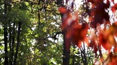 Autumn colors. Red leaves of ornamental grapes in the garden. Selective focus. Blur effect. 動画素材