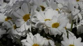 flora : Chamomile - Camomile flower bouquet, close up view