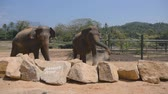 addo : Two elephants standing at the zoo and sprinkles sand itself. Beautiful elephants sprays sand from his trunk. Slow motion Close up Stock Footage