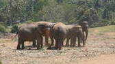 addo : African elephants graze in vicinity of reserve. Slow motion