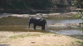 addo : A large african elephant bathes in river or lake. Slow motion