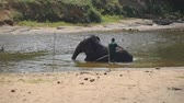 addo : Unrecognizable mahout man washing elephant in river. A large african elephant bathes in lake. Slow motion Stock Footage
