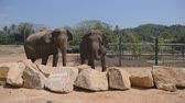 addo : Two elephants at the zoo sprinkles sand itself. Beautiful elephant sprays sand from his trunk. Slow motion Close up