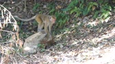 vervet monkey : Monkey walks in the national park in Sri Lanka