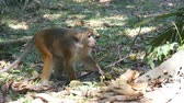vervet monkey : Monkey eating fresh fruit in the tropical park. Vertet in Sri Lanka. Close up Stock Footage
