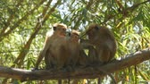 vervet monkey : Family of monkeys sitting on branch of palm in national park in Sri Lanka. Close up