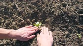 もやし : Male hands of farmer planting green sprout of sunflower and gently press a ground around small seedling at sunny day. Young man caring about plant during drought. POV Close up Slow motion