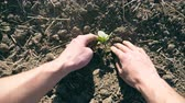 Male hands of farmer planting green sprout of sunflower in the ground at summer season. Young man caring about small seedling during drought. Concept of agricultural business. POV Close up 動画素材