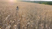 Follow to siberian husky dog running fast through golden spikelets in meadow to her owner at sunset. Young domestic animal jogging on wheat field at summer day. Sunlight at background. POV Rear view 動画素材