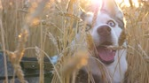 길게 나부 끼다 : Portrait of young siberian husky muzzle breathing with sticking out tongue at golden wheat field on sunset and looking up. Domestic animal sitting in tall spikelets at meadow on summer. Close up
