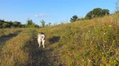 Young siberian husky dog pulling the leash while walking along trail at field on sunset. Beautiful domestic animal going along path at meadow. Summer nature landscape at background. POV Close up 動画素材