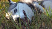 Close up of young siberian husky dog muzzle breathing with sticking out tongue at nature on sunset. Beautiful domestic animal lying on green grass at field. Low angle view