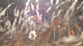 idílio : Warm summer sun lights up wild field grass. Close up of meadow plants at sun light. Bright sun illuminates dense dry herb. View of high wild vegetation. Blurred background. Slow motion Close up