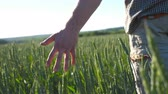 spikelet : Male hand moving over wheat growing on the meadow on sunny summer day. Young farmer walking through the cereal field and touching green ears of crop. Agriculture concept. Rear back view Close up Stock Footage