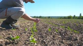slunečnice : Angry farmer examining dry soil on the field with sprouts of sunflower on summer. Young disappointed man checking small green seedlings on sunny day. Agricultural business concept. Side view Close up Dostupné videozáznamy