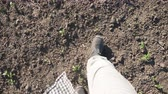 stiefel : Point of view of male feet in boots stepping through the small green sprouts of sunflower on the field at sunny day. Young farmer walking on the meadow during drought at summer. Close up POV Stock Footage