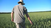 aanraken : Follow to unrecognizable young farmer walking through the cereal field and touching green wheat ears on summer day. Concept of agricultural business. Blue sky at background. Rear back view Close up