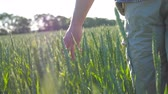 agronomia : Male hand moving over wheat growing on the meadow on sunny summer day. Young farmer walking through the cereal field and touching green ears of crop. Agriculture concept. Rear back view Close up Stock Footage