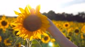 Arm of girl caress yellow flower at the meadow at sunny day. Female hand touching beautiful sunflower in the field with sun flare at background. Summer concept. Close up Slow motion Stock Footage