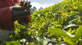 scène rurale : Low angle view of local indian woman picking fresh leaves from green bushes at highland. Close up of unrecognizable female hands harvest tea at plantation on sunny day Vidéos Libres De Droits