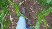 stiefel : Point of view male feet in boots stepping through the corn stalks on the field at organic farm. Legs of young farmer going among maize stems at green meadow. Close up Slow motion POV
