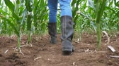 неузнаваемый : Follow to male feet in boots of farmer walking through the corn stalks on the field at organic farm. Legs of young worker stepping among maize stems at the green meadow. Low view Slow motion