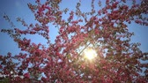 crab apple : The sun in the blue sky shines through blooming Pink Crab Apple Trees in the Spring Garden Stock Footage