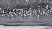 juvenil : Pack of sea seagulls Larus marinus on lake ice in the early spring