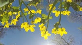 europaeus : The bottom view on Kupalnits European (Trollius europaeus) against the background of the blue sky Stock Footage