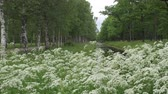 дуб : Summer garden. Avenues of birches and oaks grow along the channel with water. White flowers in the foreground Стоковые видеозаписи
