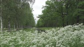 nyírfa : Summer garden. Avenues of birches and oaks grow along the channel with water. White flowers in the foreground Stock mozgókép