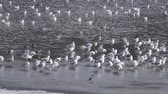 ringa : great black-backed gull (Larus marinus), European herring gull (Larus argentatus) Stok Video