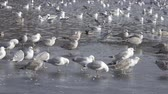 śledź : great black-backed gull (Larus marinus), European herring gull (Larus argentatus) Wideo