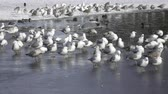 ringa : great black-backed gull (larus marinus) Stok Video