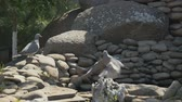 pomba : Two pigeons on the stones in the garden