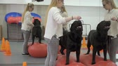companheiro : Cynologist trains labrador in the gym near the mirror Stock Footage
