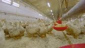 farmhouse : Ducks eat feed at poultry farm