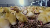 kaczka : Cute little yellow ducklings at poultry farm