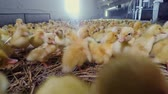 padok : Newborn ducklings growing at poultry farm for sale Stok Video
