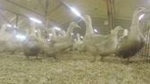 fodder : Funny ducks at poultry farm