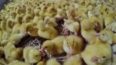 farmhouse : Cute little ducklings in a paddock at poultry farm Stock Footage