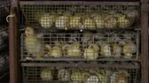 defective : Defective duckling among egg shells in the cage