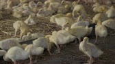 nestling : Cute ducklings eat feed